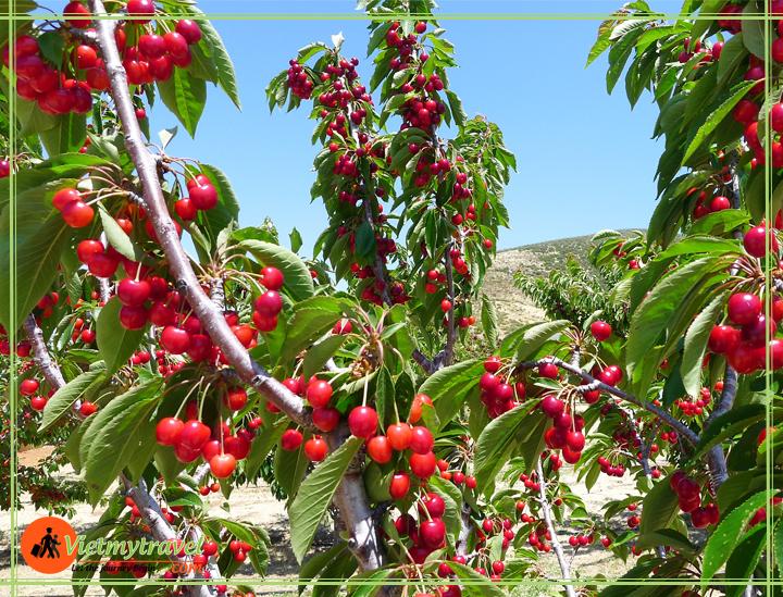 nông trại cherry