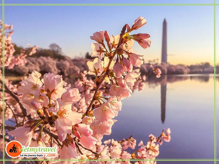 Tour du lịch Mỹ liên tuyến Đông Tây - Hồ tidal thanh bình bên sắc hoa anh đào mùa xuân vô cùng lãng mạn.